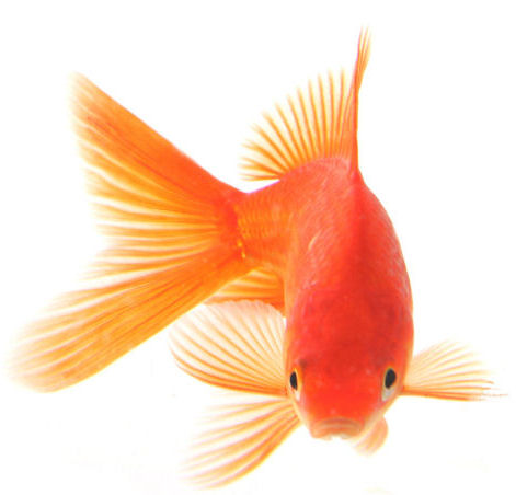 Goldfish-play-inside-in-aquarium