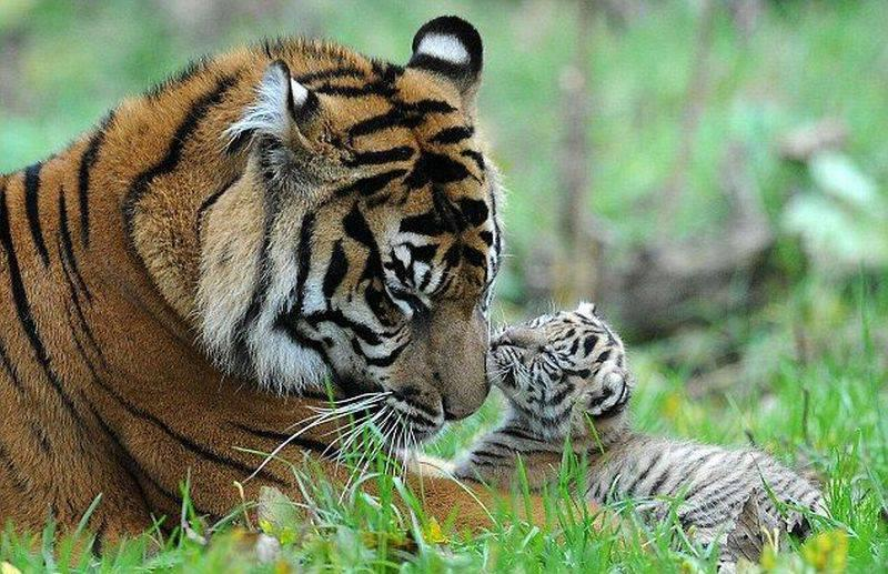 mother-tiger-kiss-baby