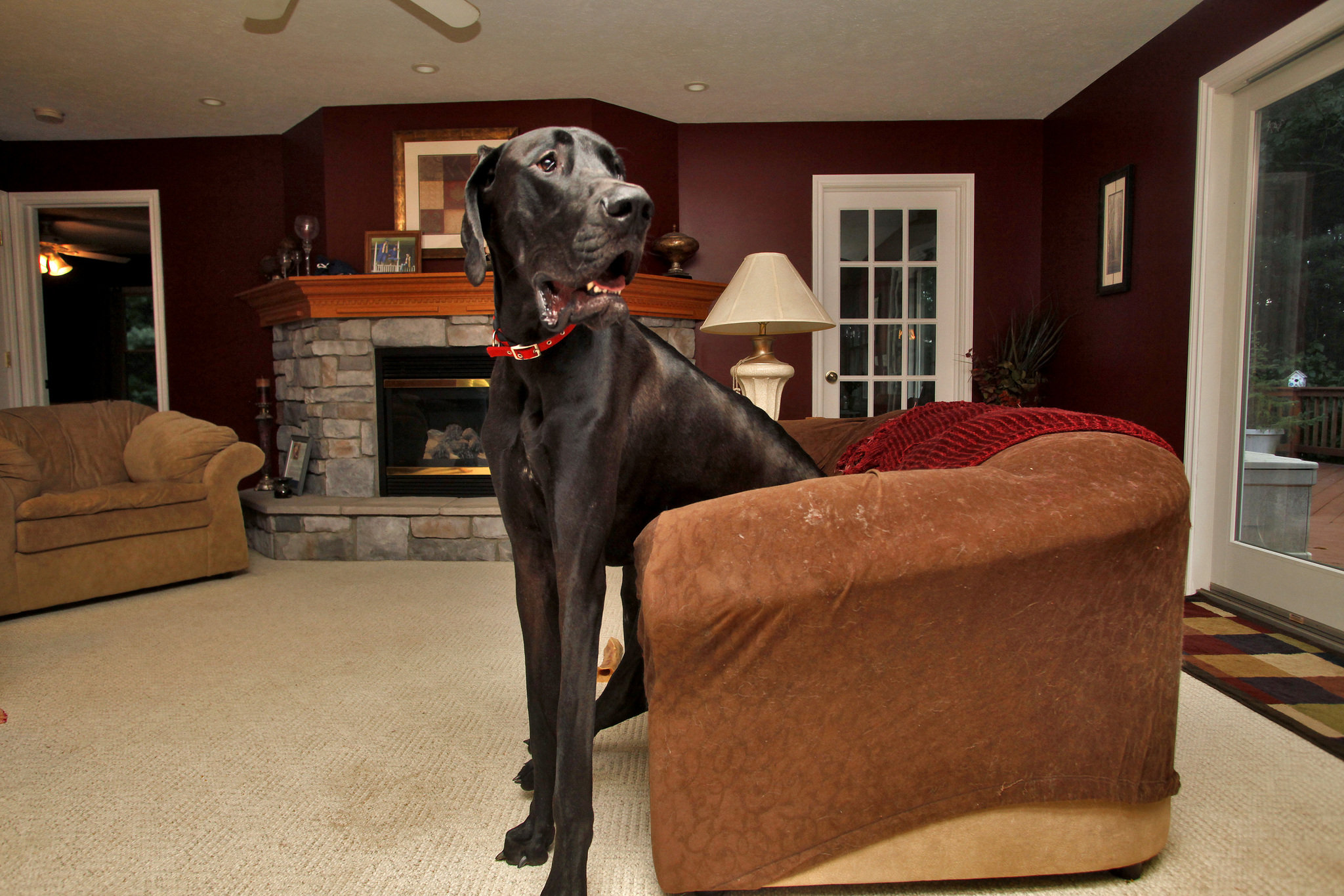 Zeus-Great-Dane-becomes-tallest-dog