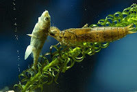 Dragonfly-nymph-eats-small-fish