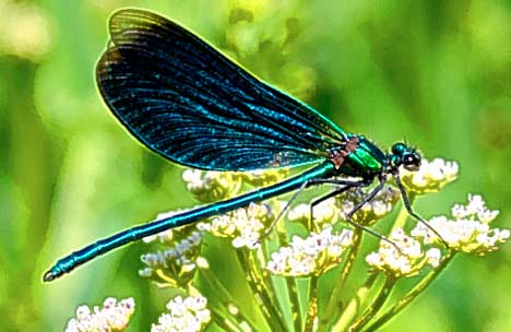 Dragonfly-over-grass