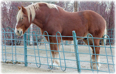 big-jake-a-19-year-old-belgian-draft-horse