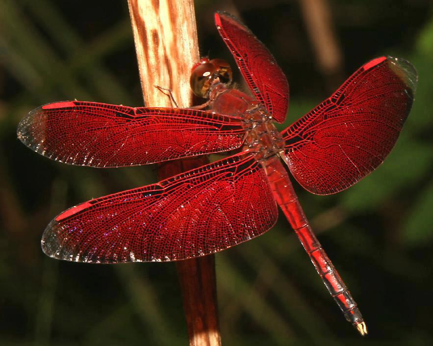 deep-red-coloured-Dragonfly