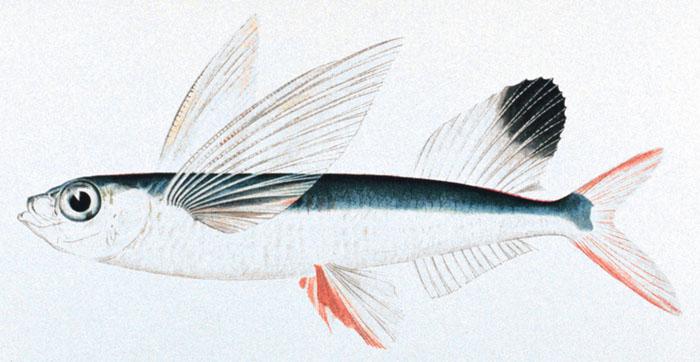 flying-fish-sketch