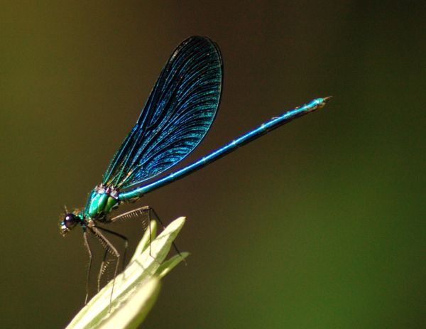 slim-blue-coloured-Dragonfly-sit-over-grass