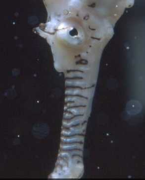 Seahorse-mouth