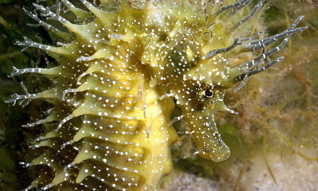 Seahorse-have-53-species(hippocampus)-this-is-spiny-seahorse