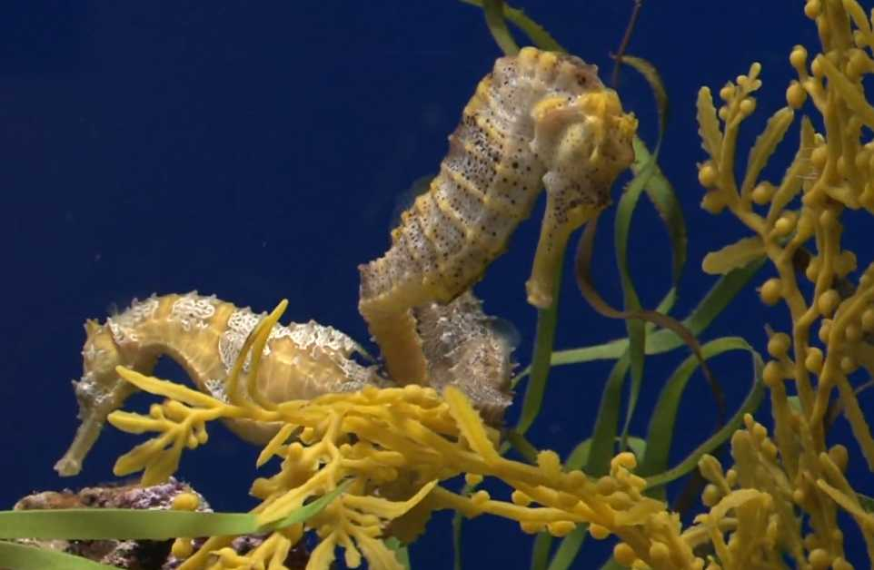 Seahorse-mating-and-male-hatch-up-egg