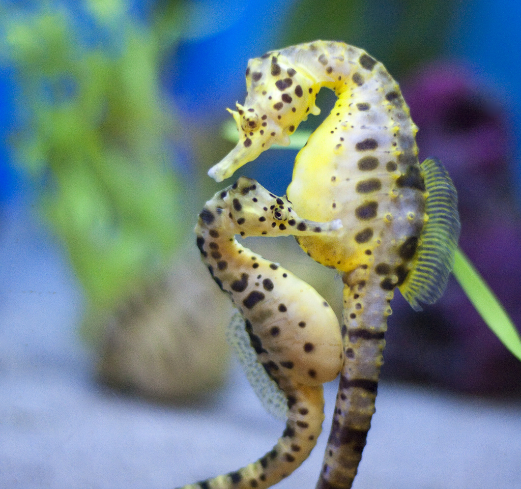 male-and-female-seahorse-mate