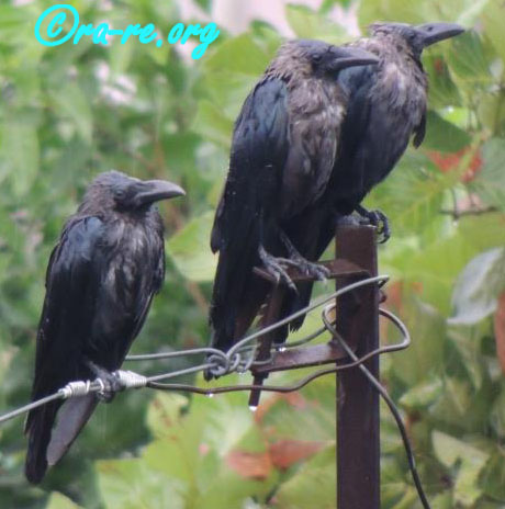 3-wet-crow-after-rain-shivering