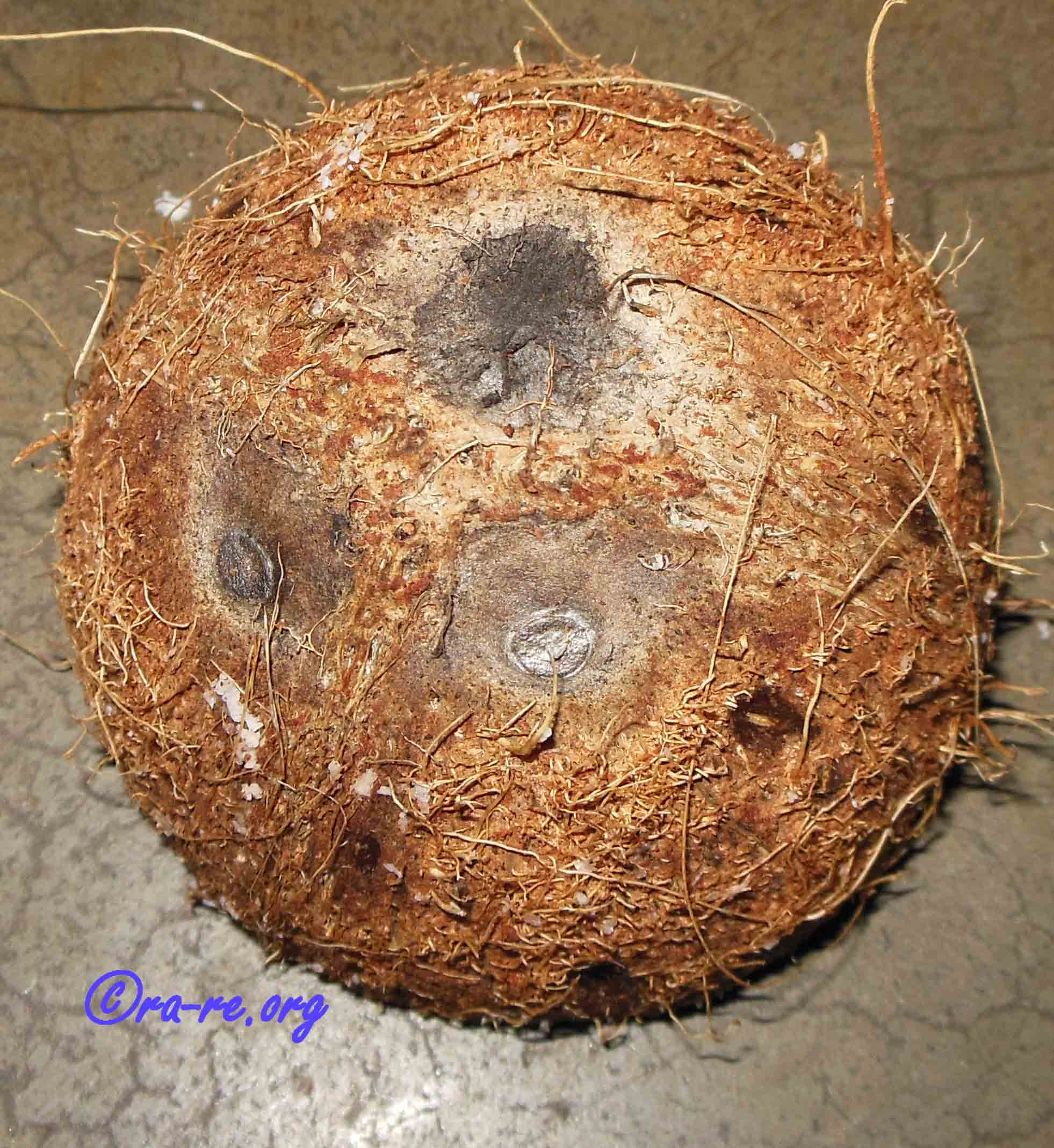 coconut-with-three-holes
