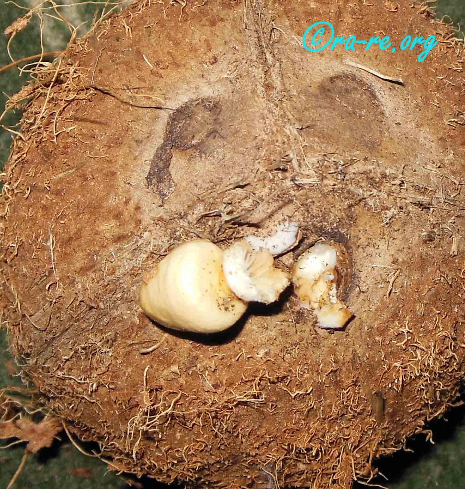 inside-germinating-stoma-of-coconut