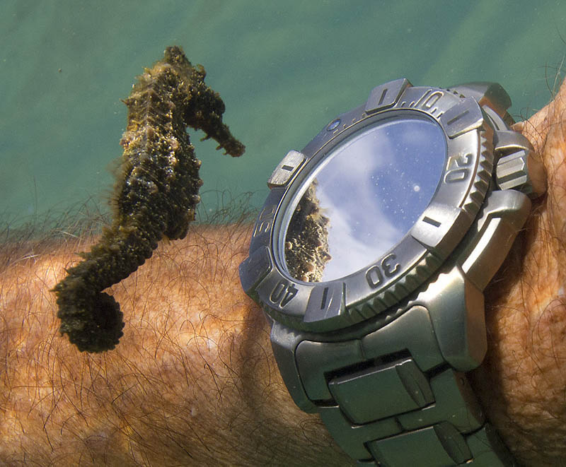 seahorse-looks-own-reflection-underwater-divers-watch