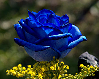 Blue-coloured-rose