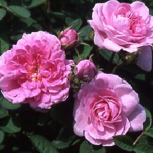 Pink-roses-are-favourite-among-young-lover