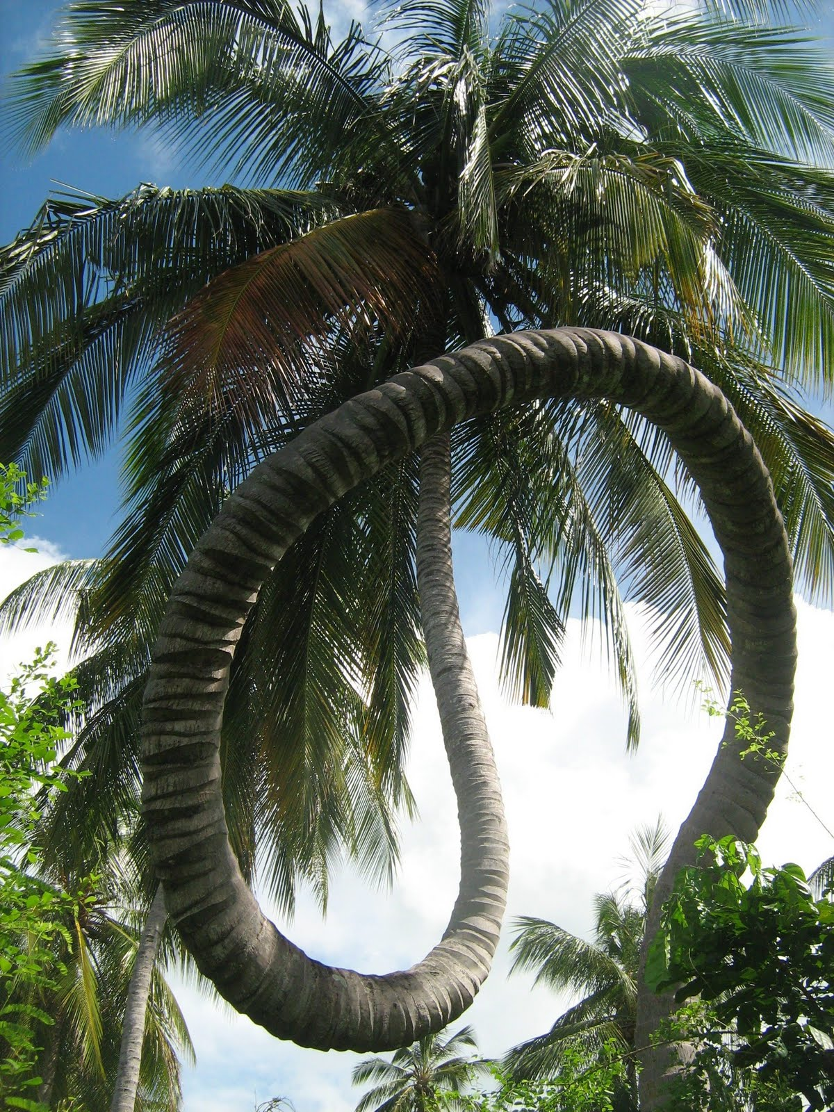 amazing-curled-coconut-tree-extremely-rare-to-found-such-bent