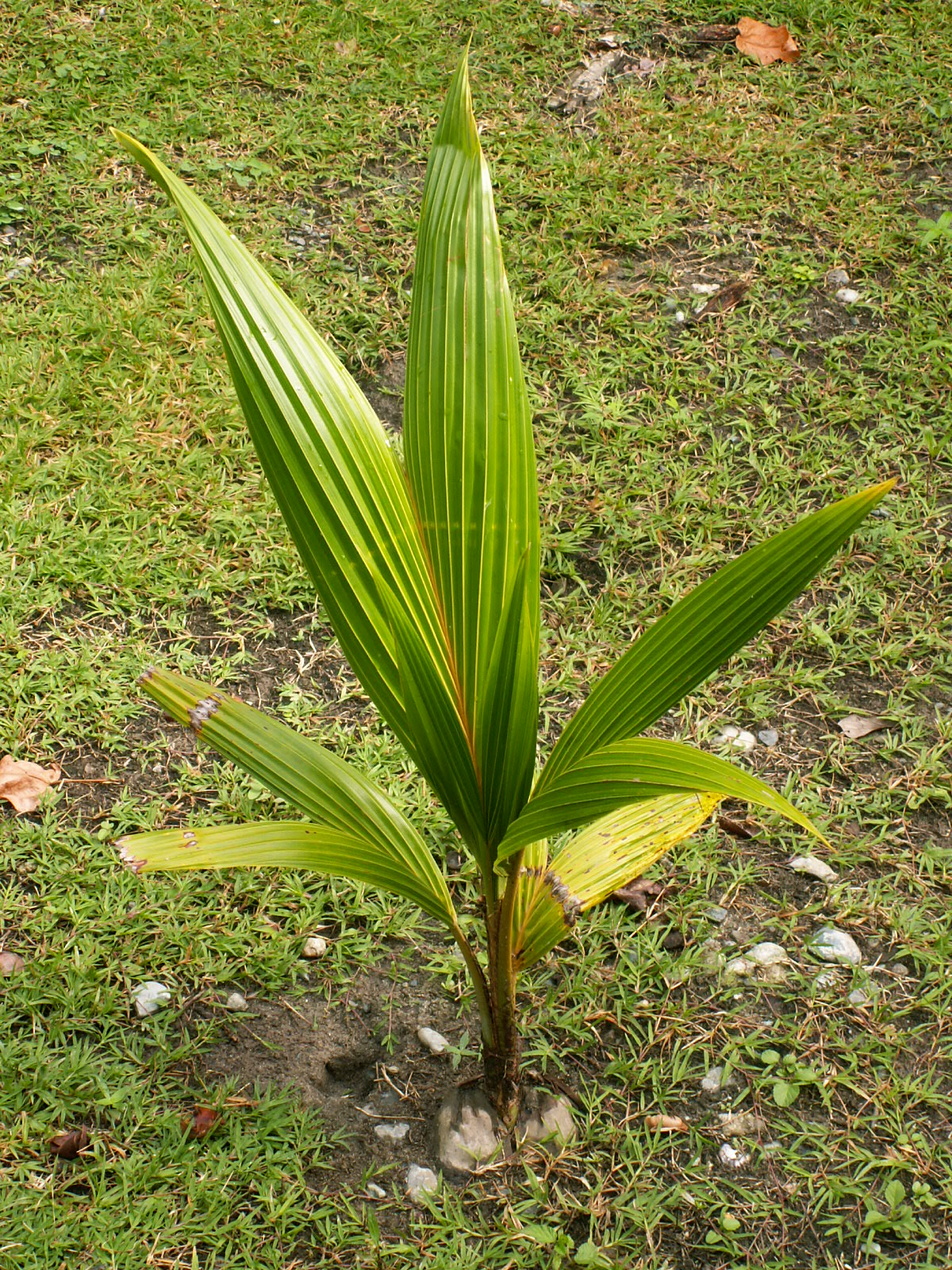 coconut-palm-seedling