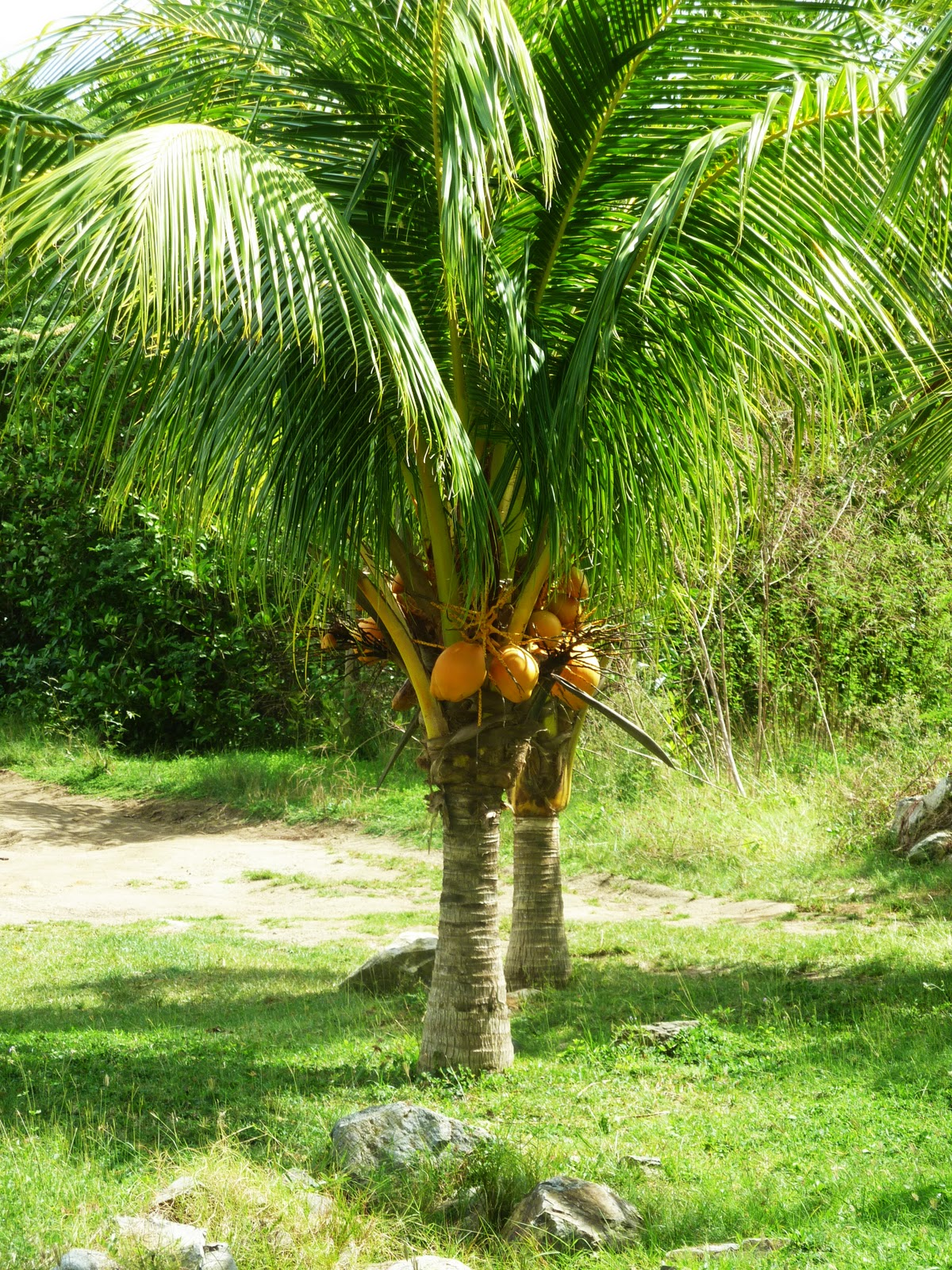 coconut-tree-dwarf-may-be-hybrid