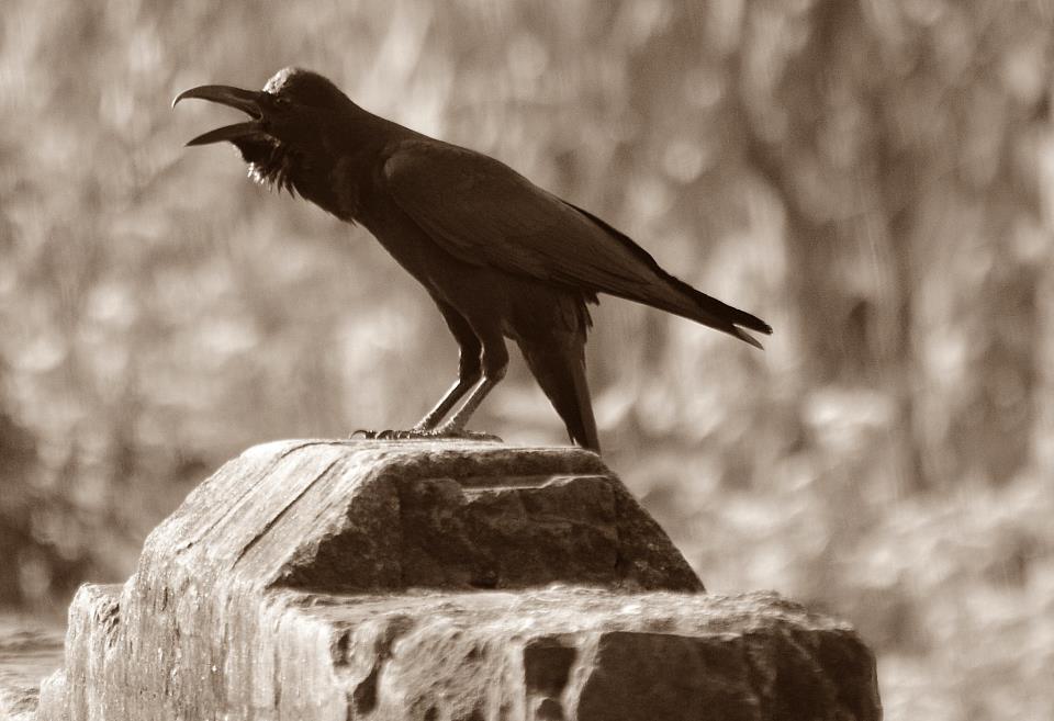 crow-calls-Koww-Koww