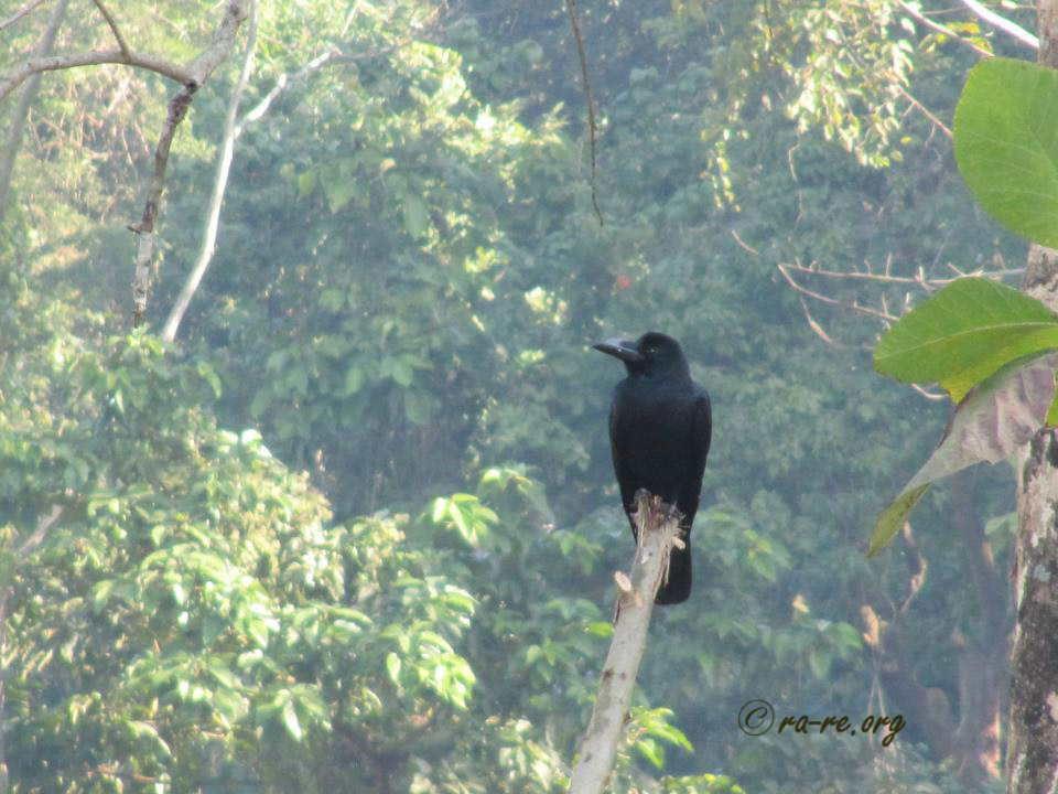 crow-in-jungle