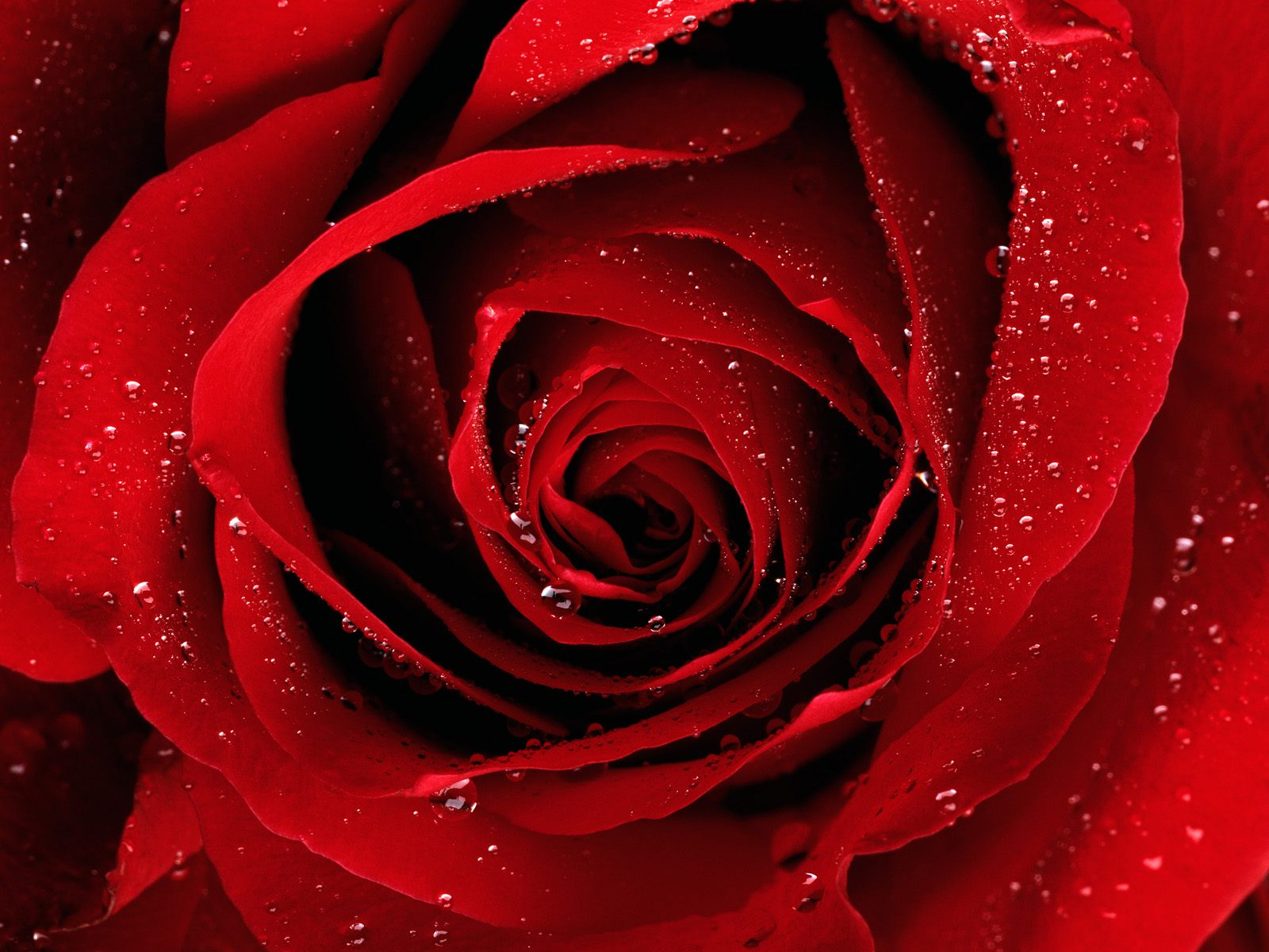 dews-deposited-over-red-rose-in-the-morning