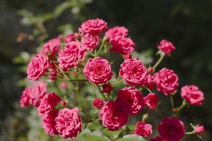 rose-bushes-in-a-garden