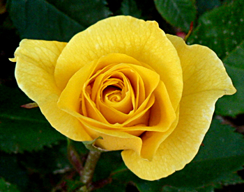 yellow-coloured-rose-are-very-demanding-in-market