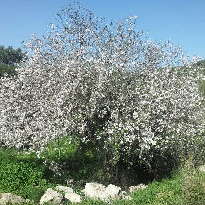 Almonds-tree