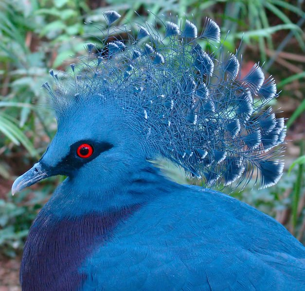 Beautiful-Victoria-Crowned-Pigeon-crown-looks-royal