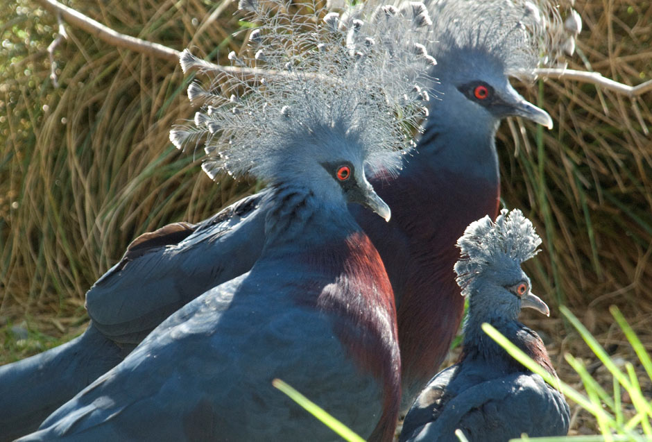 Beautiful-Victoria-Crowned-Pigeon-with-young-baby