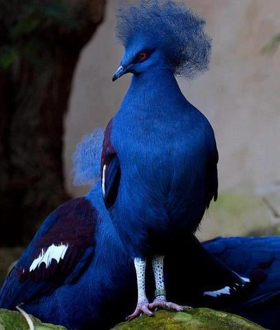 Victoria-Crowned-Pigeon-rarest-of-rare-species