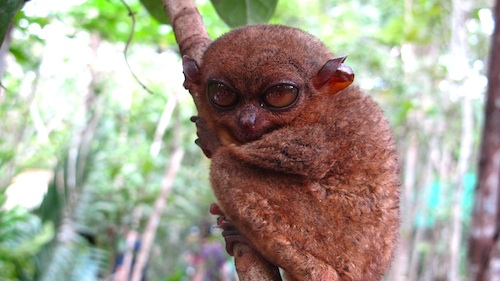 brown-coloured-philippine-tarsier