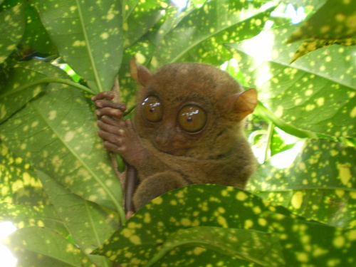philippine-tarsier-are-nocturnal