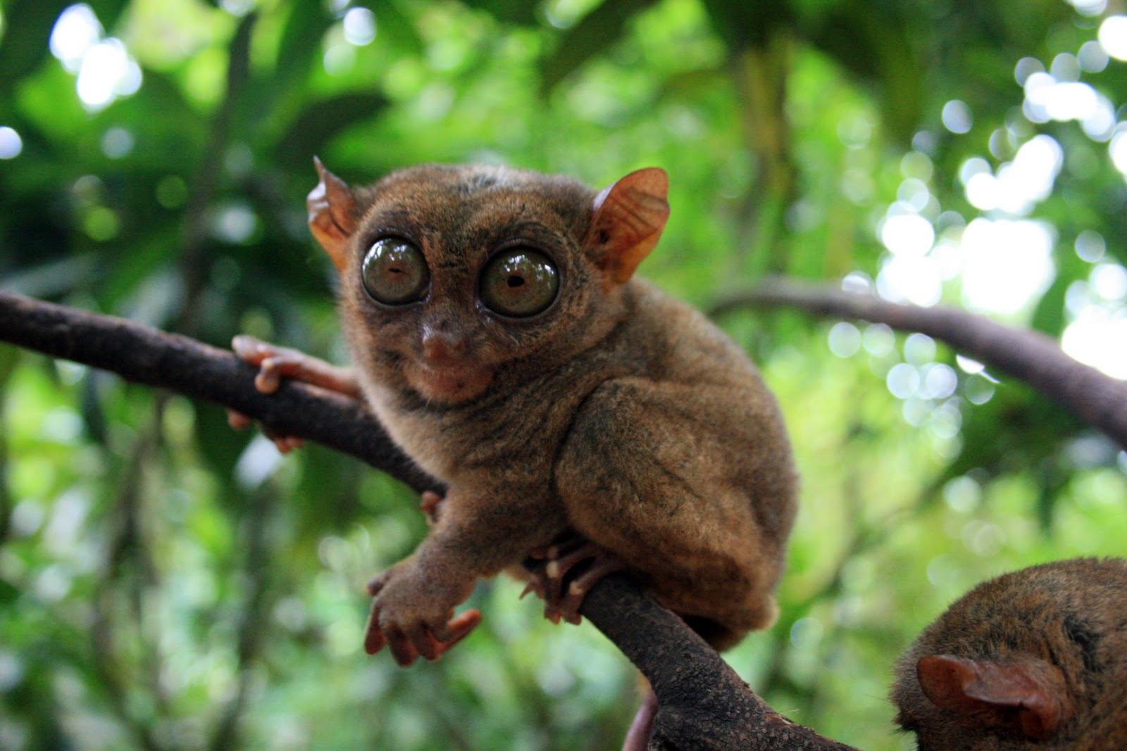 philippine-tarsier-are-solitary