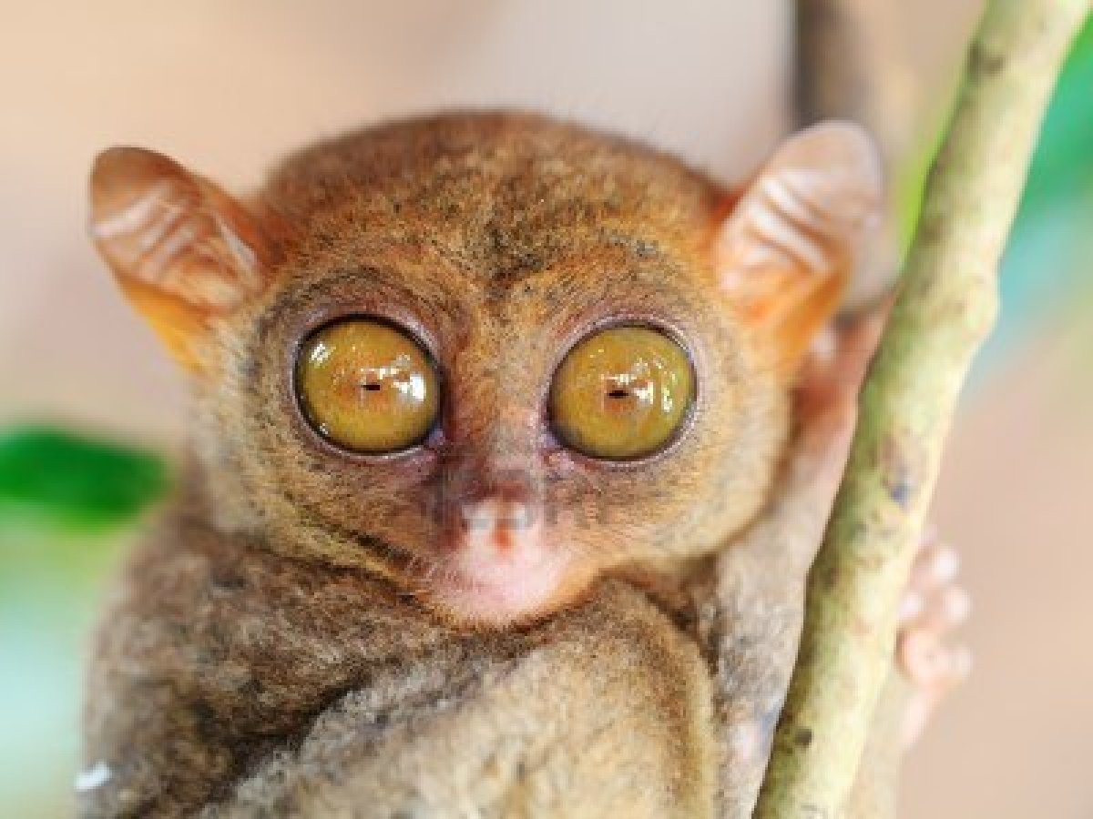 philippine-tarsier-eyes-are-bigger-than-brain-can-rotate-180-degree