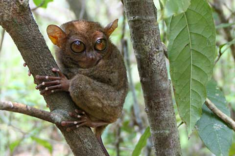 philippine-tarsier-found-only-in-south-east-asia