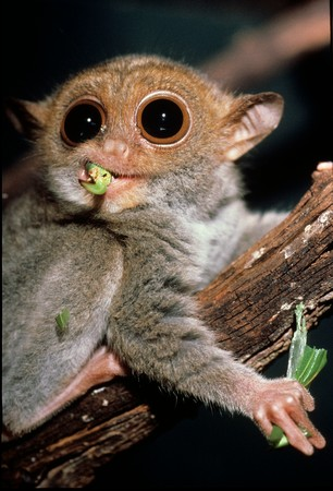 philippine-tarsier-over-a-twig