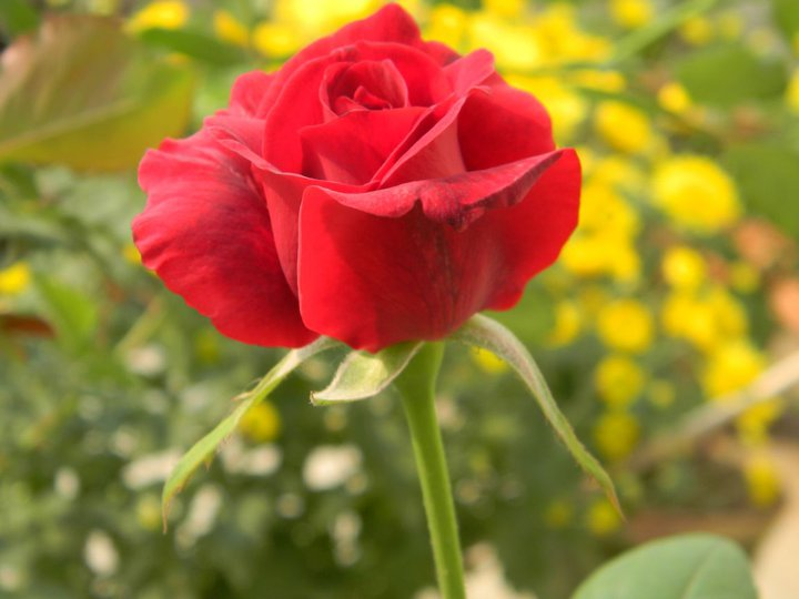 red-rose-bud