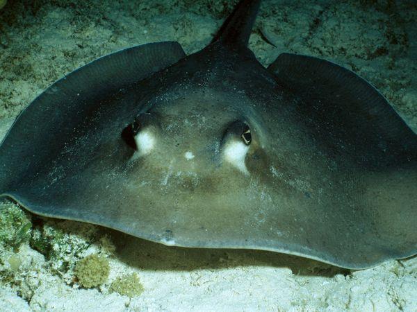 stingrays-are-millions-year-old-animal