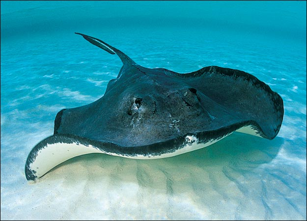 stingrays-eyes-over-the-head-but-mouth-undersurface