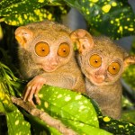 Philippine Tarsier Facts