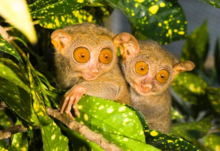 two-philippine-tarsier-hide-behind-leaves