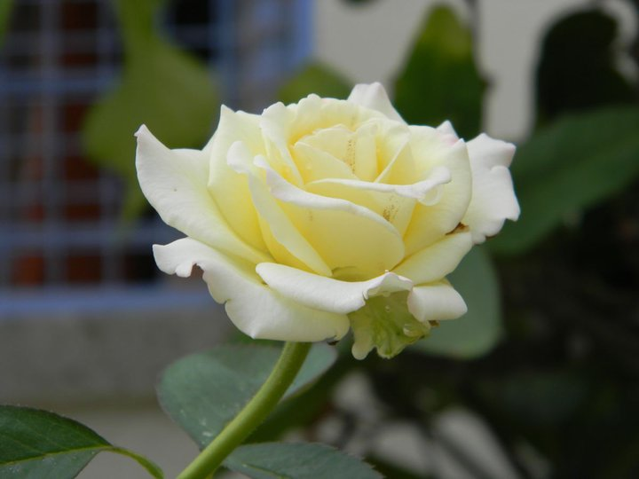 white-rose-in-garden