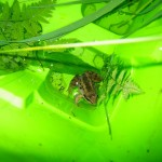 Alaskan-Wood-Frog-in-water