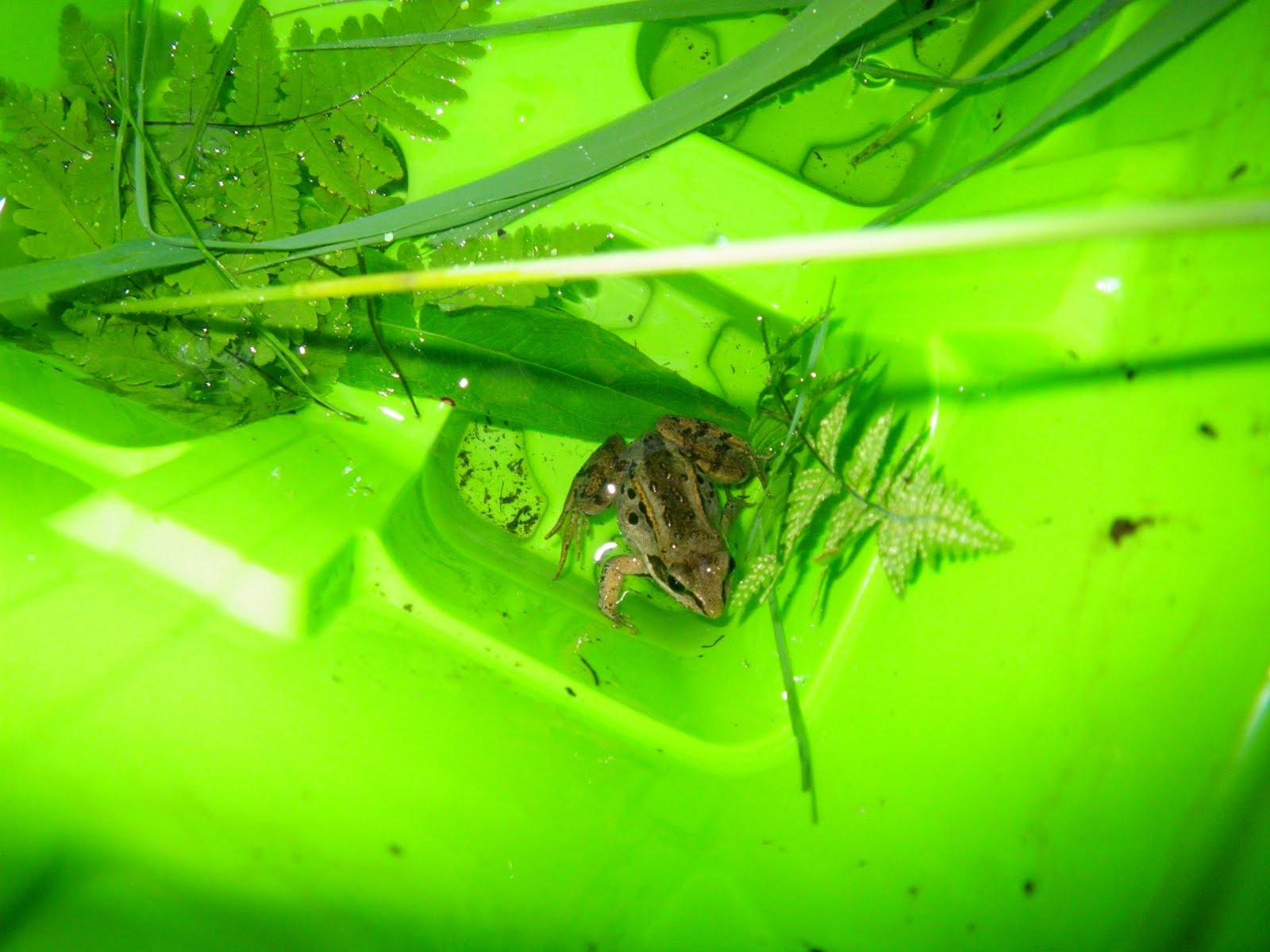 Alaskan-Wood-Frog-in-water