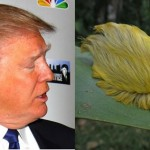 Donald-Trump-Caterpillar-resembles-like-Donald-Trump