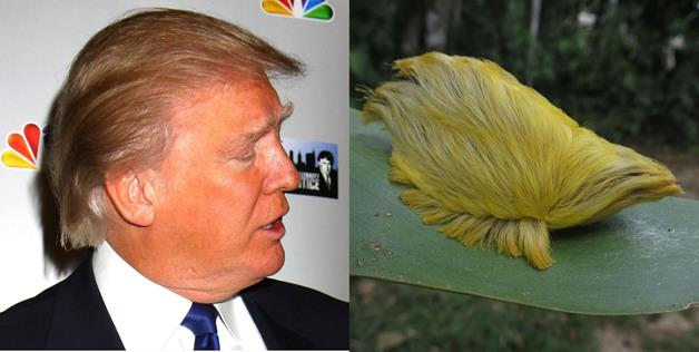 Donald-Trump-Caterpillar-resembles-like-Donald-Trump
