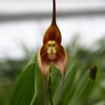 Monkey-Orchid
