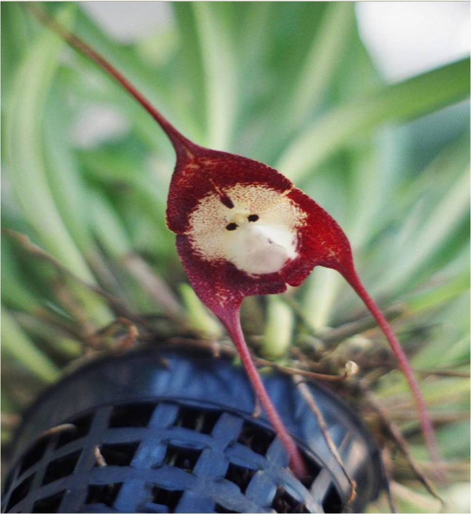 Monkey-Orchid-also-known-as-Dracula-Simia