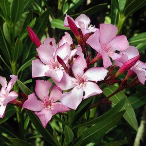 multiple-buds-of-oleander-in-garden